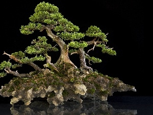Bonsai, Thumbnail, an, Rock, trees