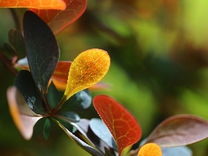 Berberis Thunbergii, Leaf, Bush, color