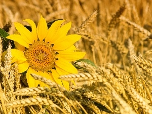 Sunflower, cereals