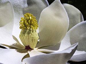 Magnolia, Colourfull Flowers, Close, White