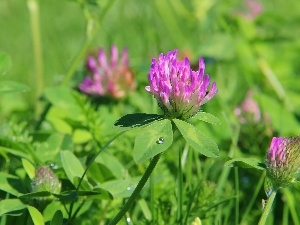 clover, lilac, Flowers