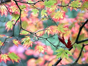Leaf, Maple Palm, color