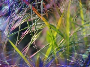 colors, inflorescence, grass