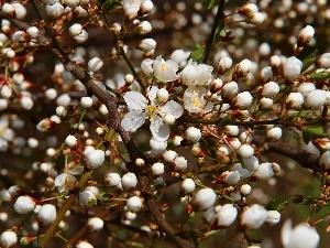 Flowers, Buds, fruit, White, trees