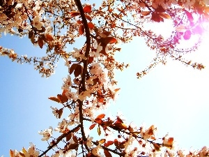 branch, Sky, Flowers, cherry, White, sun