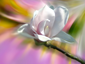 Colourfull Flowers, Magnolia, graphics, White