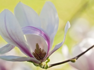 twig, Magnolia, Colourfull Flowers