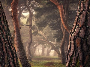 pine, trees, morning, Fog, forest, viewes