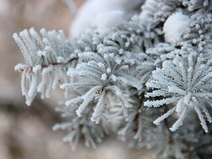 Frost, spruce, rime