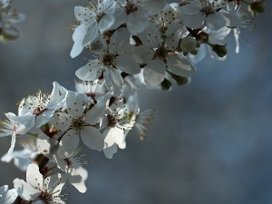 White, trees, fruit, Flowers