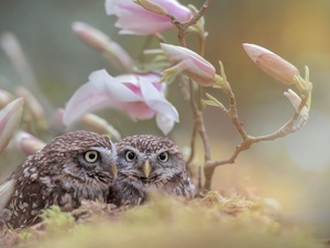 fuzzy, background, Little Owl, Magnolia, Owls