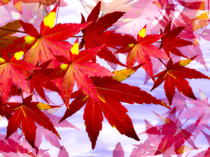 graphics, Leaf, maple