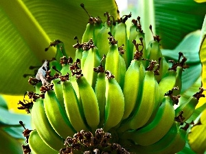 bananas, Leaf, green ones