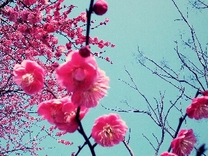 Japan, Blossoming, cherry