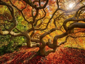 Japanese Maple, Leaf, autumn, trees, nature