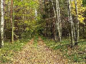 Leaf, autumn, Way, birch, forest