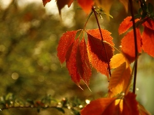 Leaf, autumn, Wine, Red, wild