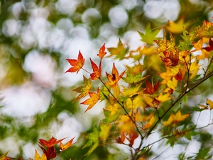 Colored, Leaf, maple, branch, autumn