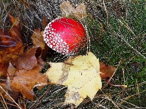 Red, Brown, Leaf, toadstool
