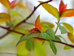 Japanese Spirea, Red, Leaf, Bush