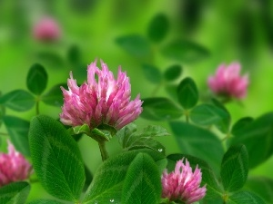Pink, green ones, leaves, trefoil