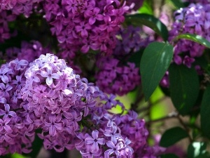purple, Lilacs