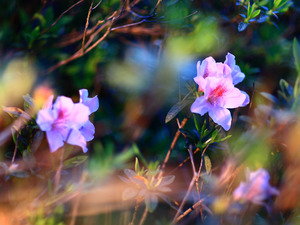 ligh, Flowers, flash, luminosity, sun, rhododendron