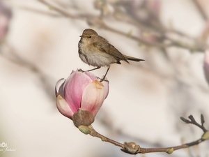Bird, Magnolia, bud, Colourfull Flowers