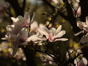 Bush, Pink, Flowers, Magnolia