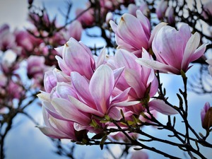 Magnolia, Bush, Flowers