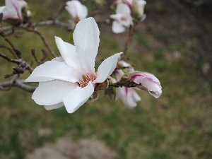 Magnolii, White, Flowers