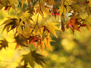 color, maple, blurry background, Leaf