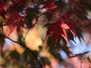 maple, Red, Leaf