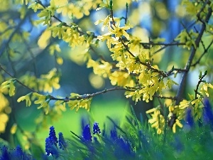 forsythia, Flowers, Muscari, Yellow