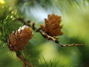 needle, cones, larch