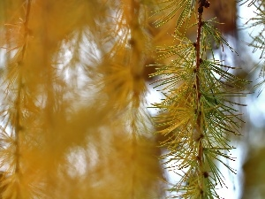 larch, Yellow, needle, twig