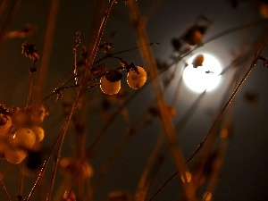 moon, Symphoricarpos Duhamel, Night