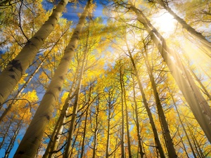 trees, birch, rays of the Sun, viewes