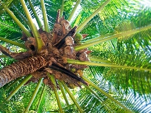 coconuts, Palm