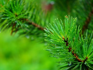 Green, conifer, pine, twig