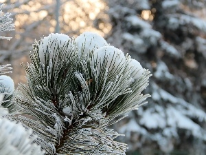 Frost, A snow-covered, pine