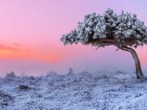 pine, Great Sunsets, frosty, trees, winter