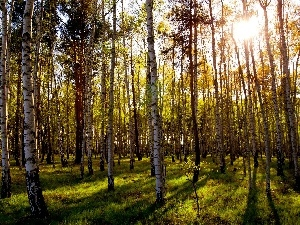 birch, forest, rays of the Sun