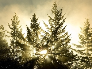 rays, sun, viewes, Spruces, trees