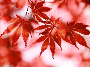 Leaf, Maple Palm, Red