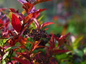 Japanese Spirea, Leaf, Red, Bush