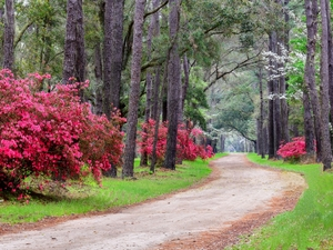viewes, Rhododendron, Way, trees, Park