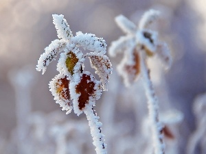 Frost, Twigs, rime, Leaf