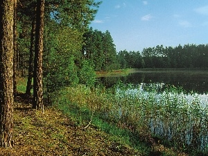 forest, lake, rushes, pine