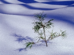 seedling, drifts, snow, pine